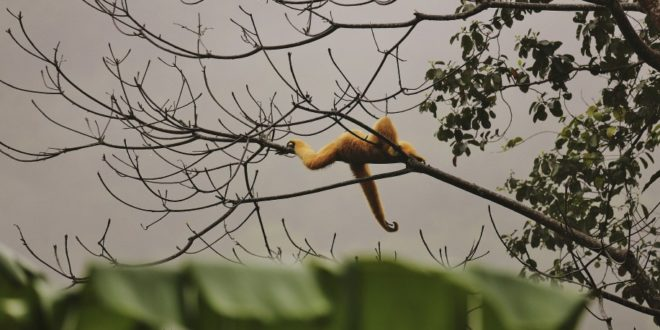 Gibbon im Cuc-Phuong-Nationalpark in Vietnam